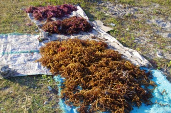 sea weed farming